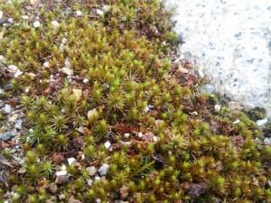 春になって再び生長を始めた杉苔